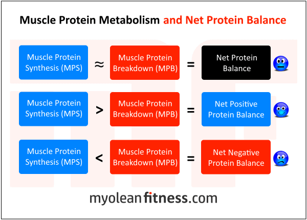 Protein Before Bed - Muscle Protein Metabolism - Myolean Fitness