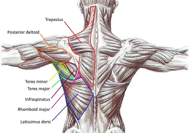 Upper Back Exercises - Muscles - Myolean Fitness