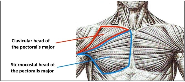 The Best Chest Workout - Myolean Fitness - Anatomy