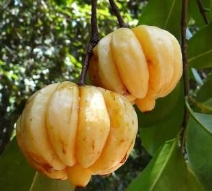 Garcinia Cambogia - Fruit